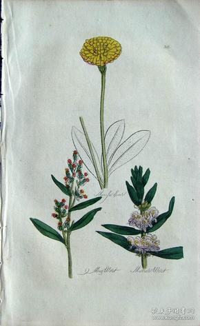 """1812年版《药用植物学图谱》 — """"MOUSE EAR""""木版画手工上色/20.5x13cm"""