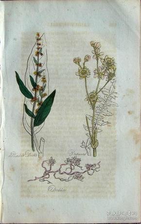 """1812年版《药用植物学图谱》 — """"GARDEN DOCK""""木版画手工上色/20.5x13cm"""