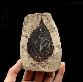 史前树叶化石,非常稀有的树叶化石,树叶形状稀有化石,可遇不可求,难得一见