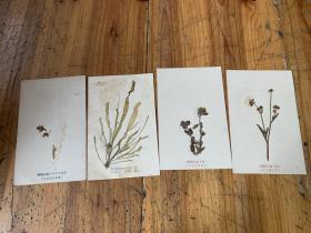 3492:民国时期日本明信片《富士高山植物  绿藻类食用等》贴在明信片上的标本4张