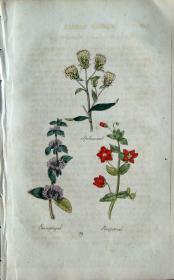 """1812年版《药用植物学图谱》 — """"INDIAN SPIKENARD""""木版画手工上色/20.5x13cm"""