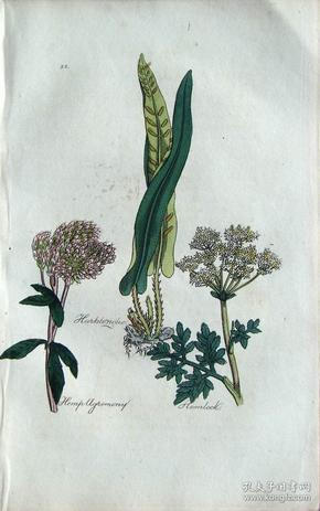 """1812年版《药用植物学图谱》 — """"HARTS TONGUE""""木版画手工上色/20.5x13cm"""