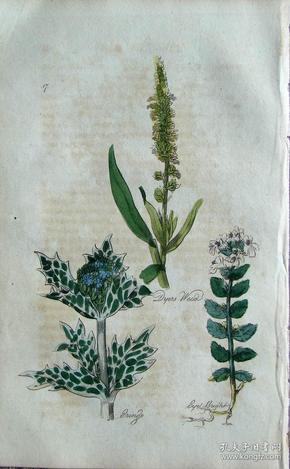 """1812年版《药用植物学图谱》 — """"DYERS WEED""""木版画手工上色/20.5x13cm"""