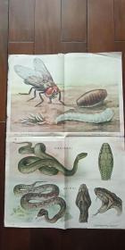 1960年出版印刷 彩色宣传画 2开 《苍蝇 傅春芳 绘》《蛇 芮光庭 绘》  厚纸 有水渍