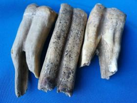 最长达70mmd古动物牙齿化石一组