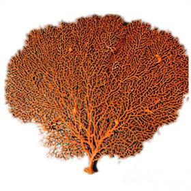皇冠特级真正的海柳树海铁树珊瑚树枝红海柳 海草鱼缸造景 家居装饰裱框