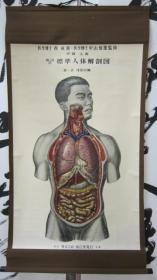 日伪满洲国时期标准人体解剖图彩色挂图轴
