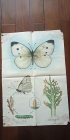 1960年出版印刷 彩色宣传画 2开 《粉蝶 》 方洞  绘 有水渍