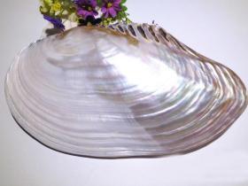 顶级纯天然稀有27cm大珍珠贝蚌壳,品相一流,质地细腻,非常不错可遇不可求的大海珍宝值得永久收藏