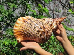顶级纯天然稀有四大名螺之凤尾螺大法螺,品相一流,质地细腻,非常不错可遇不可求的大海珍宝值得永久收藏