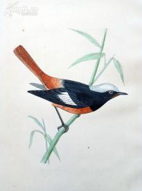 【3】1866年《欧洲鸟类图谱:红腹红尾鸲》(GULDENSTADTS REDSTART)--25*15.5厘米--石版雕刻,手工上色