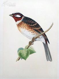 【35】1866年《欧洲鸟类图谱: 白头鹀》(PINE BUNTING)--25*15.5厘米--石版雕刻,手工上色