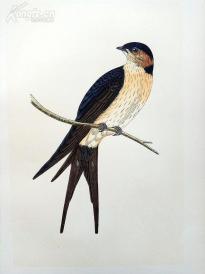 【174】1866年《欧洲鸟类图谱:棕燕》(RUFOUS SWALLOW)--25*15.5厘米--石版雕刻,手工上色