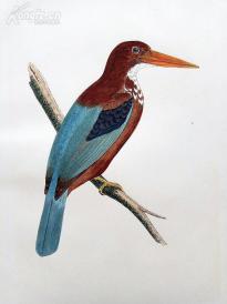 【218】1866年《欧洲鸟类图谱:士麦那翠鸟》(SMYRNA KINGFISHER)--25*15.5厘米--石版雕刻,手工上色