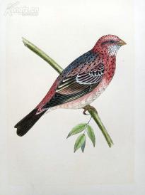 【76】1866年《欧洲鸟类图谱:玫瑰红灰雀》(ROSY BULLFINCH)--25*15.5厘米--石版雕刻,手工上色