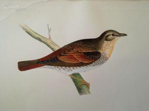【192】1866年《欧洲鸟类图谱:诺曼百灵》(naumanns thrush)--25*15.5厘米--石版雕刻,手工上色