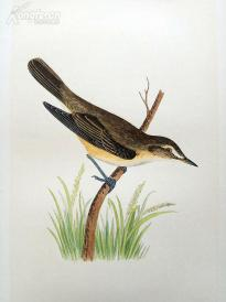 【70】1866年《欧洲鸟类图谱:湿地苇莺》(MARSH WARBLER)--25*15.5厘米--石版雕刻,手工上色