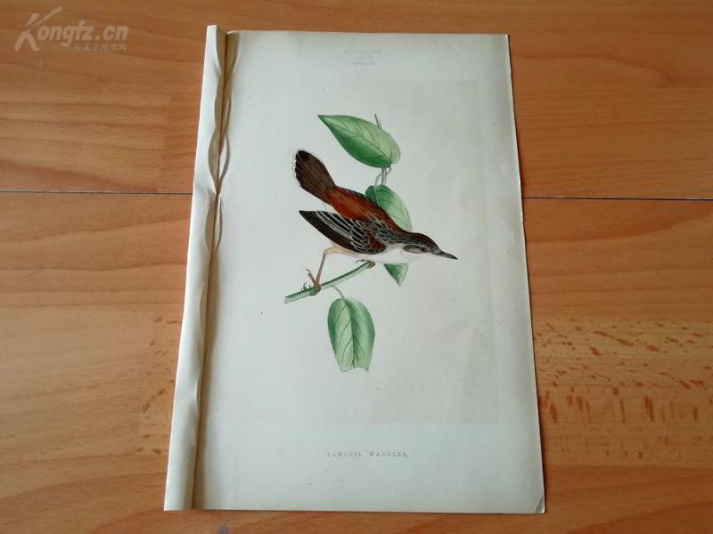 1866年《欧洲鸟类图谱:扇尾鸣鸟》(fantail warbler)--25*15.5厘米--石版雕刻,手工上色
