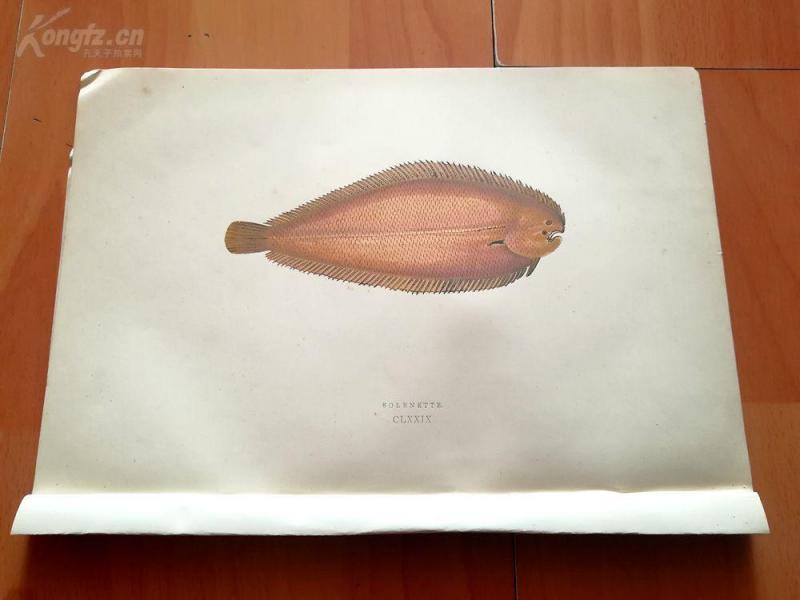 【179】1877年《不列颠群岛鱼类图谱--万氏鳎》(SOLENETTE)--25*17.3厘米--木口木刻,手工上色