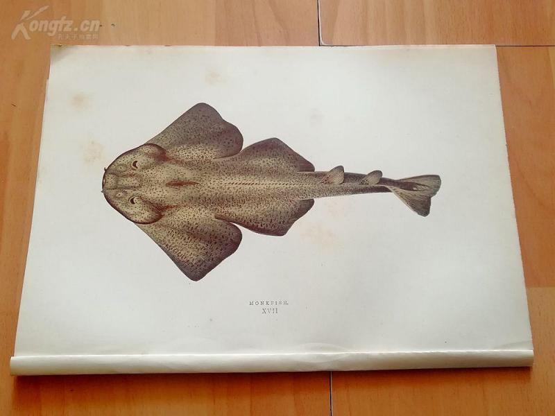 【17】1877年《不列颠群岛鱼类图谱--鮟鱇鱼》(MONKFISH)--25*17.3厘米--木口木刻,手工上色