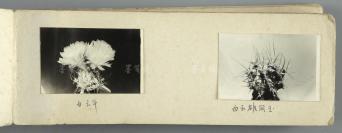 观赏植物花茎老照片影集 一册32页65枚 (内收庆松玉、银翁玉、火焰龙、精巧丸等植物品种) HXTX111808