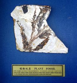 """頂級極品純天然極為罕見和難得的植物化石""""古樹化石"""",百年難得一件,極為罕見十分難得,收藏佳品"""