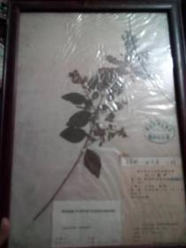 干制植物标本(四川大学方文培采集)