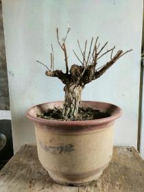 枸杞老桩盆景盆栽实物植物盆景盆栽带土球发货。