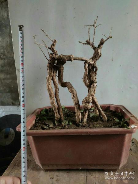 包邮枸老桩杞盆景盆栽植物带球发货