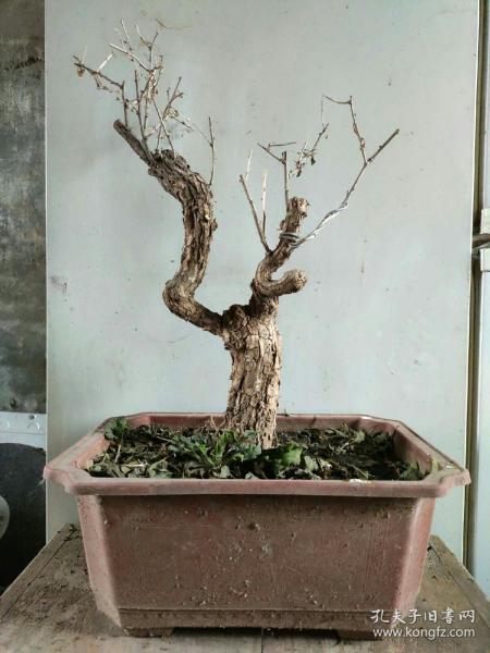枸杞老桩盆景盆栽实物植物盆景盆栽带土球发货
