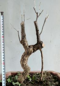 枸杞老桩盆景盆栽实物带土球发货。