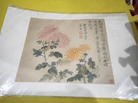 大图卡菊花。