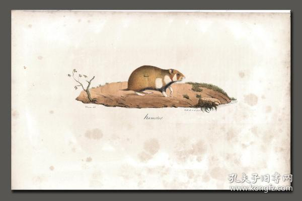 """1824 hand-painted lithograph """"Hamster"""""""