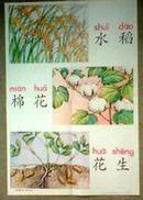 教学挂图,水稻棉花花生,六年制小学语文第一册