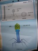 初中生物教学挂图(图60):病毒(尺寸:75x52厘米)