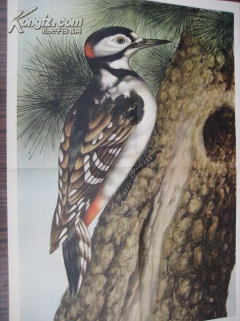中学生物学教学挂图 脊椎动物――鸟纲 第二辑 啄木鸟