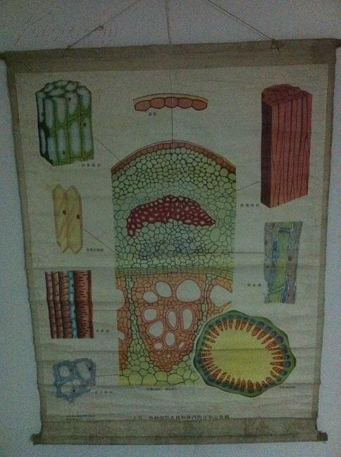 植物及植物生理教学挂图(一)植物的细胞和组织(全套25幅,存16幅)