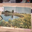 老版教学挂图 江南的油菜花 4开1957年印数46000