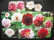 中国艺术图卡--国色天香(10枚套)