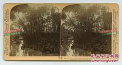 清末民国时期立体照片--- 清代中国种植的一种重要造纸原料---纸莎草老照片