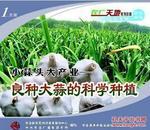 大蒜栽培技术视频,怎样种植大蒜