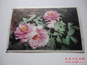 明信片 花卉(1)