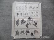 实用动物挂图(第一辑)—第二图 哺乳纲 灵长目(折叠配送)