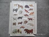 实用动物挂图(第一辑)—第四图 哺乳动物 食肉目(二)(折叠配送)