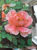 1975年年历卡4张(牡丹、芍药)