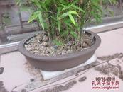 80年代紫砂花盆+罗汉竹盆栽