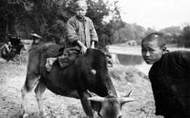 5寸新加洗:广西容县,骑牛的儿童(1933年)