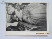 新华社文革老照片《加拿大的南瓜比赛》