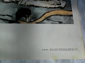 中国画 年画 老年画 《雄狮》1979