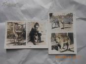 26182 五六十年代动物老照片两张,广州动物园